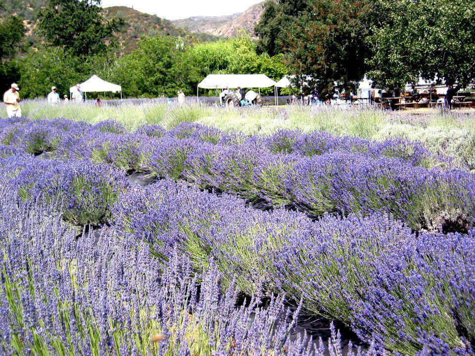 Cache Creek Lavender Farm's Annual Free Festival